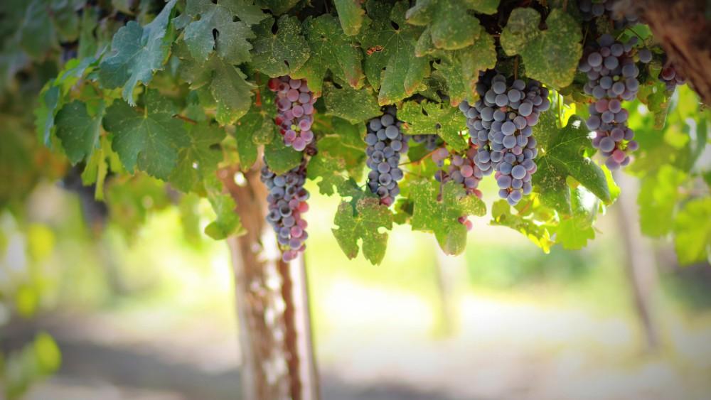 grapes-1844745_1920