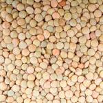 Lentille vertedu Puy: modification de la période des semis